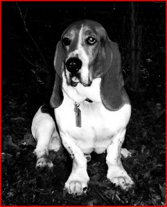 moose the basset hound