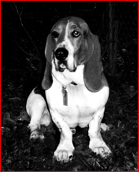 moose the basset hound