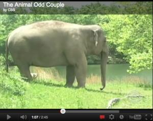 The Animal Odd Couple, Dog Loves Elephant