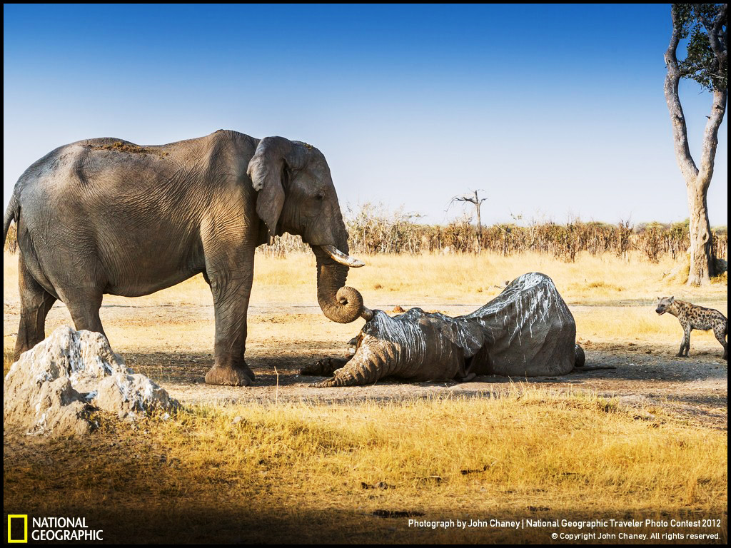 Elephant Grief and Love, Photograph by John Chaney