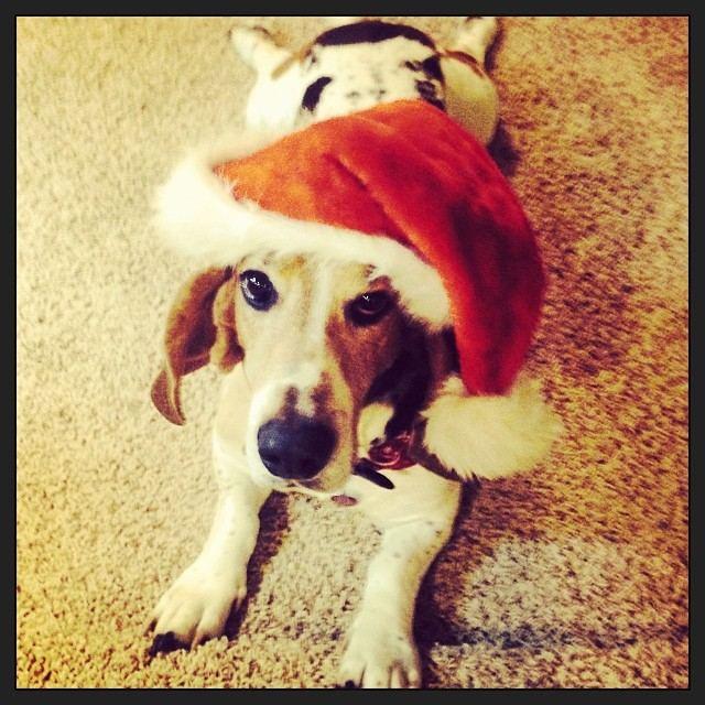 Moose the Basset Hound Dressed As Santa