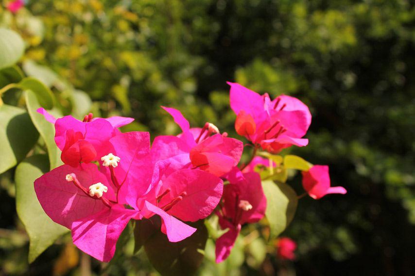 Jamaica, Pink Flowers